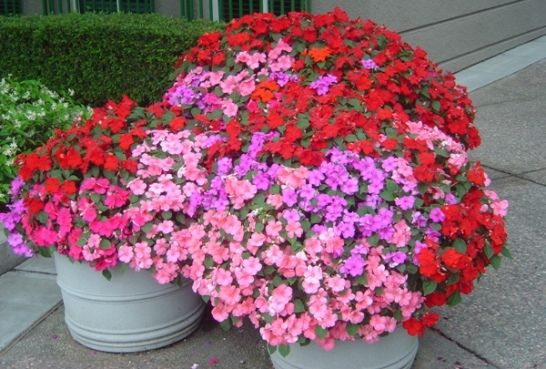The Impatiens Is One Of The Easiest Plants To Take Care Of