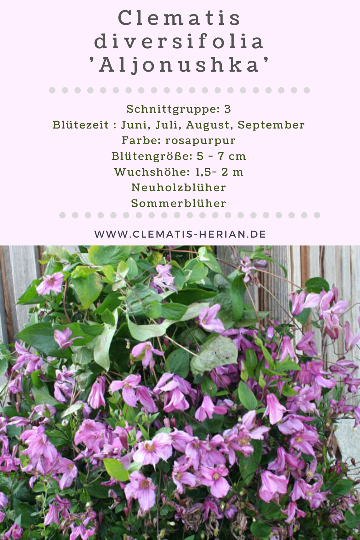 Clematis Div Aljonushka Clematis Herian Clematis Pflanzen Botanischer Garten