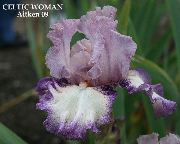 Iris CELTIC WOMAN | Stout Gardens at Dancingtree