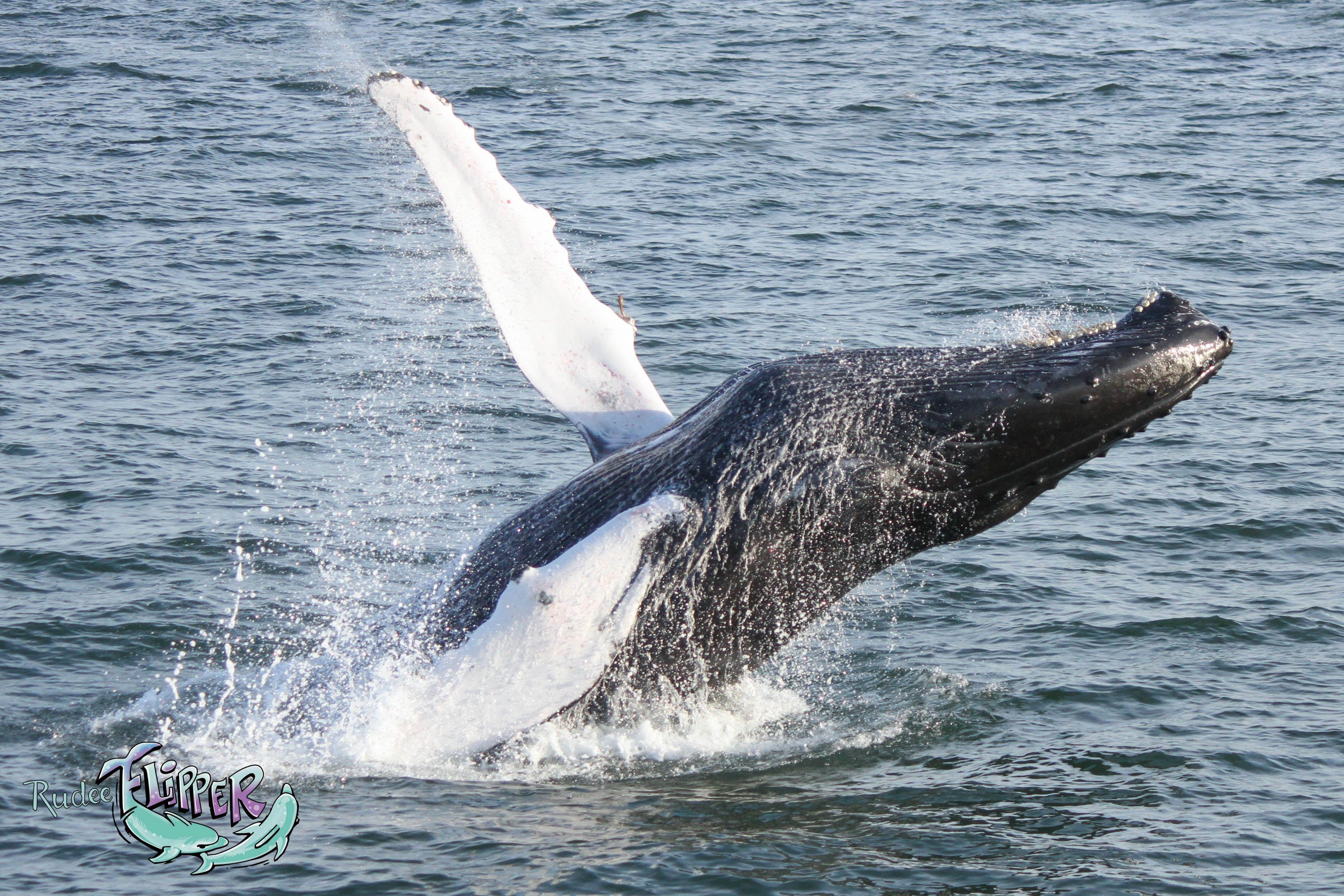 Humpback Whale Breaching Virginia Beach Va Rudee Tours Watching