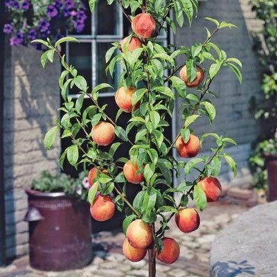 Peach garden sun miniature full sun 8 10 39 in height 19 for Peach tree designs
