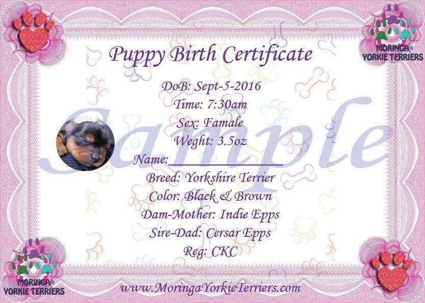 Female Yorkshire Terrier Birth Certificates Yorkshireterrier