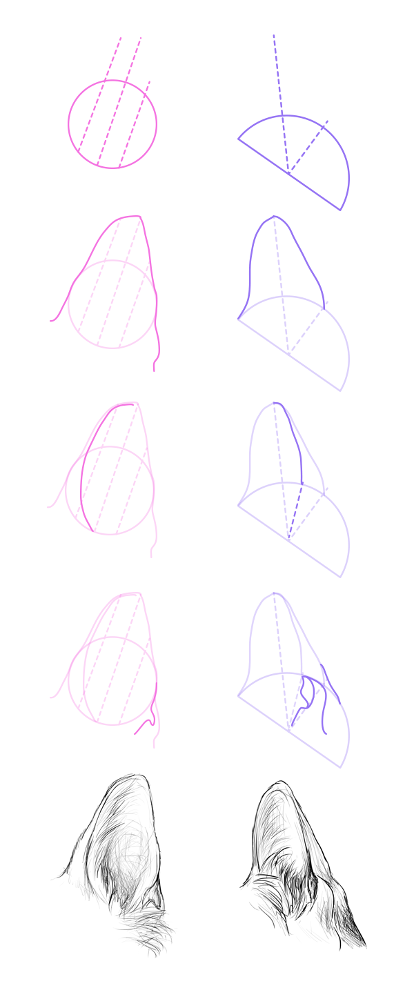 How to Draw Dog Ears Step 1 The ancestor of dogs, a wolf