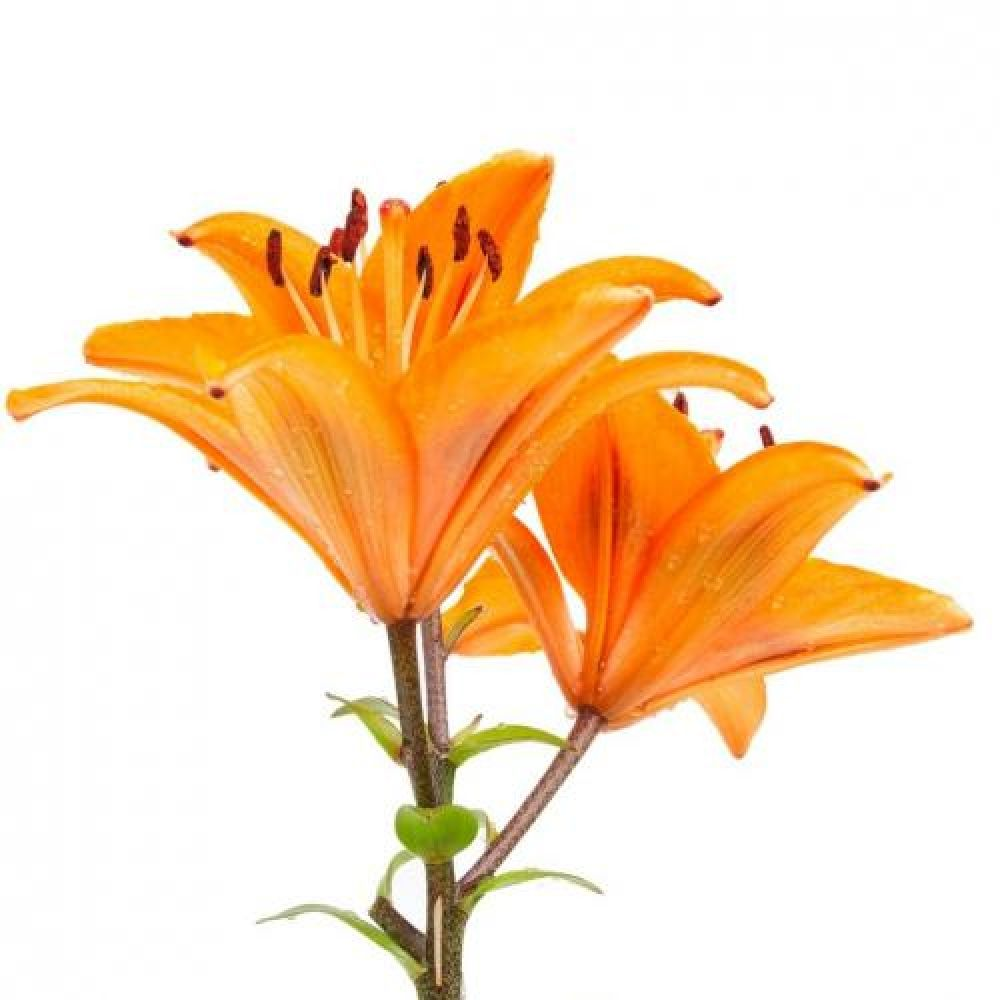 Bulk discount flowers orange asiatic lilies 10 stemsbunch buy all your fresh flower supplies and products including bouquet holders corsage supplies and more izmirmasajfo
