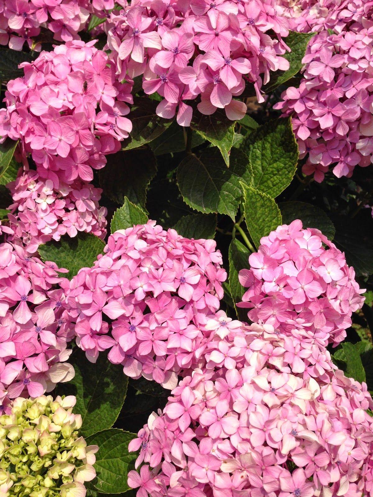 Asya Store Summer Hydrangea Summer Hydrangeas Hydrangea Flowers