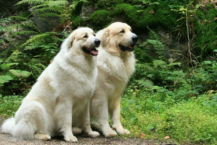 Great Pyrenees Or Pyrenean Mountain Dog Great Pyrenees Great