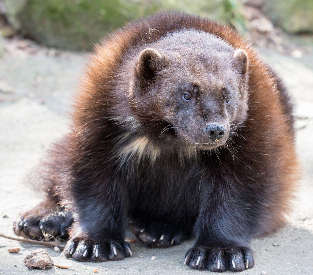 Wolverine Tier