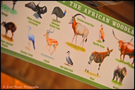 Image of: Orlando Wildlife Spotting Guide On The Kilimanjaro Safari In Disneys Animal Kingdom Walt Disney World Orlando Florida Pinterest Wildlife Spotting Guide On The Kilimanjaro Safari In Disneys Animal