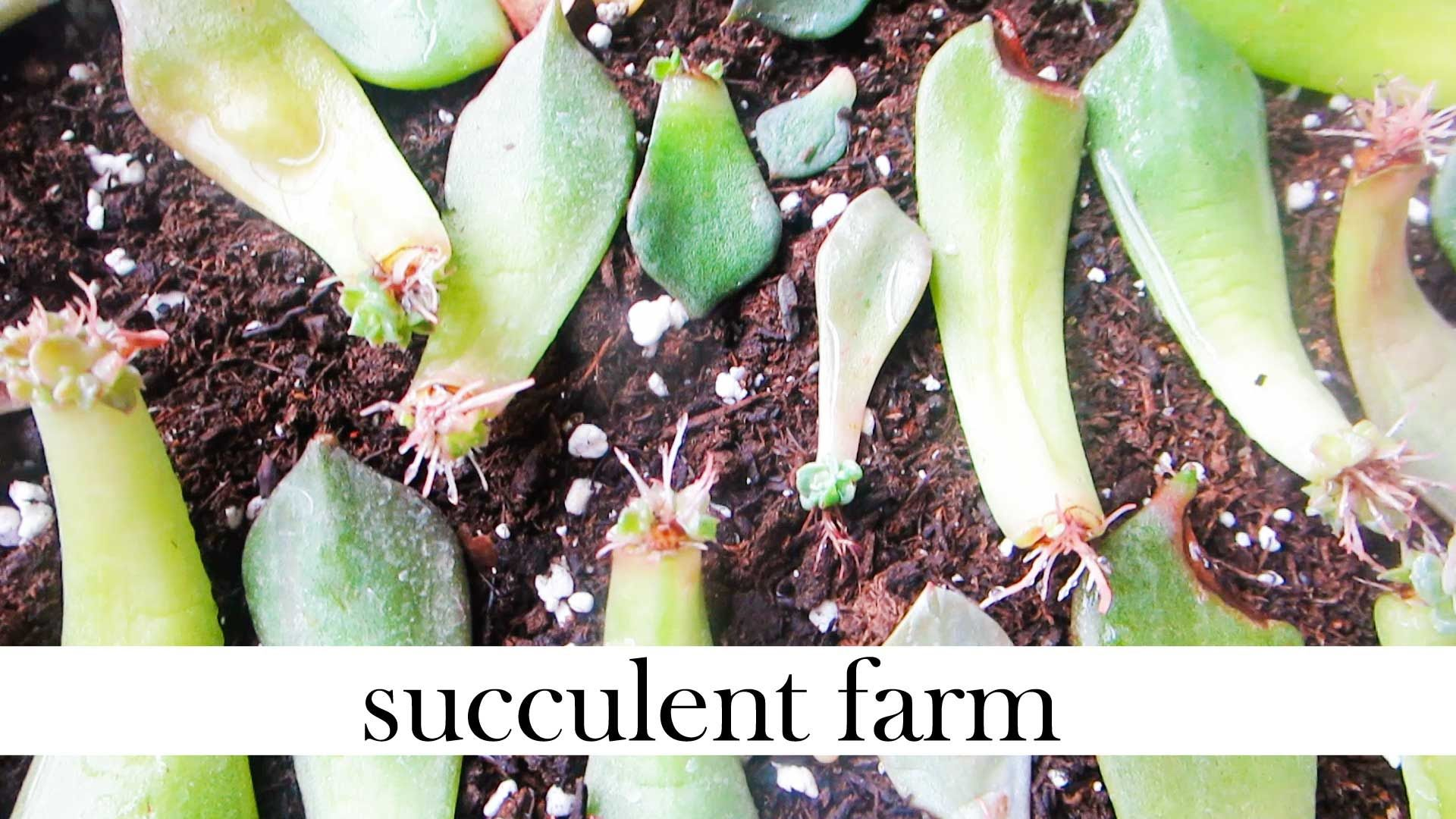 how to transplant succulents cuttings