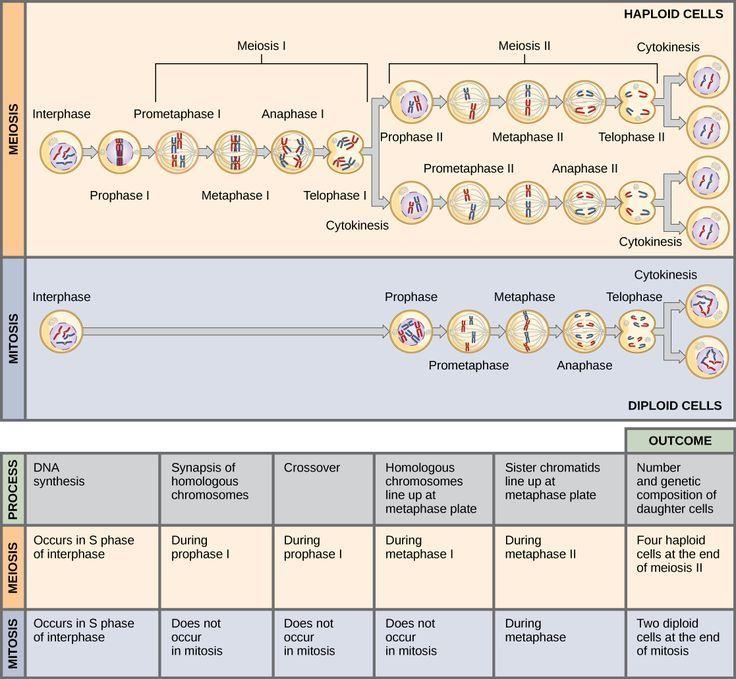 Mitosis anchor chart mitosis anchor chart , mitose