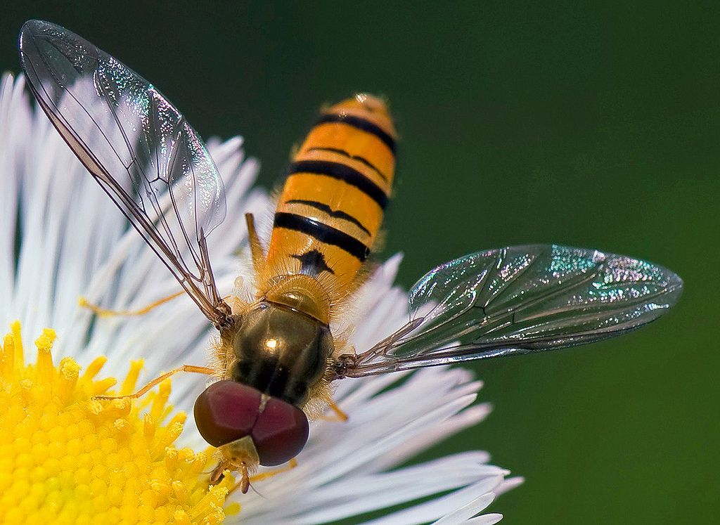 Hover Fly Beneficial Sometimes Mistaken For A Bee Or A Wasp