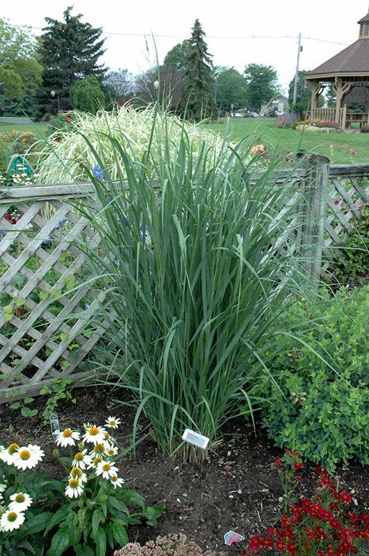 Northwind Switch Grass Panicum Virgatum 39 Northwind 39 At Stein 39 S Garden Home Grasses