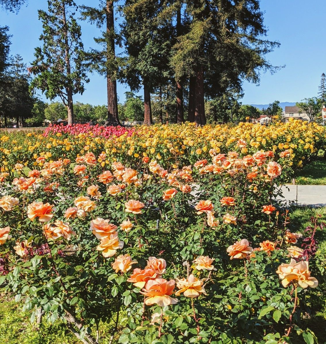San Jose Municipal Rose Garden Parking Rose Garden Landscape Rose Garden Rose