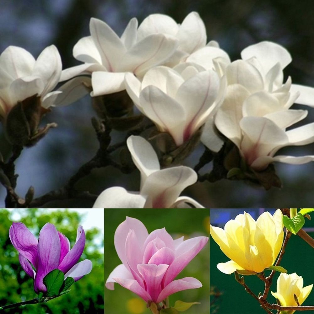 Product Type Bonsai Variety Magnolia 100 X Magnolia Flower Seeds We Apologize That We Cannot Accept It Is Eas Flowering Trees Fragrant Flowers Tree Seeds
