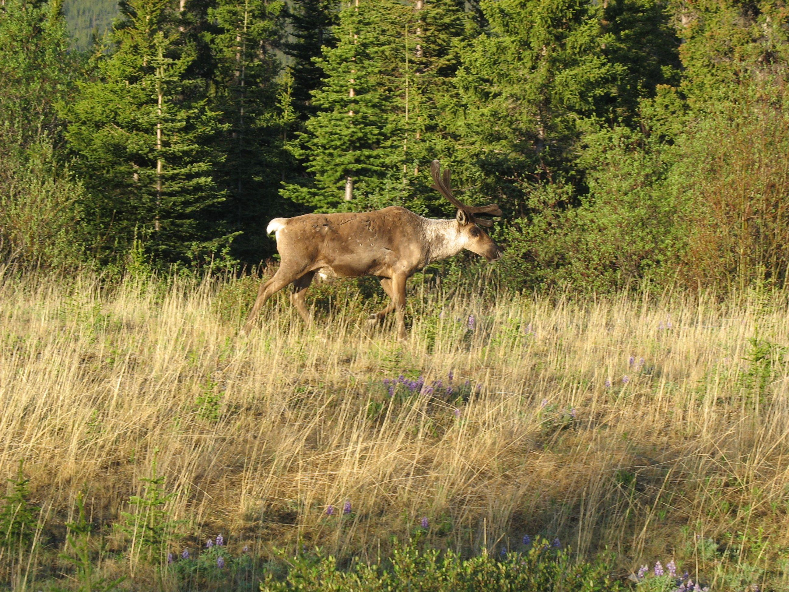 Woodland caribou. Yukon.