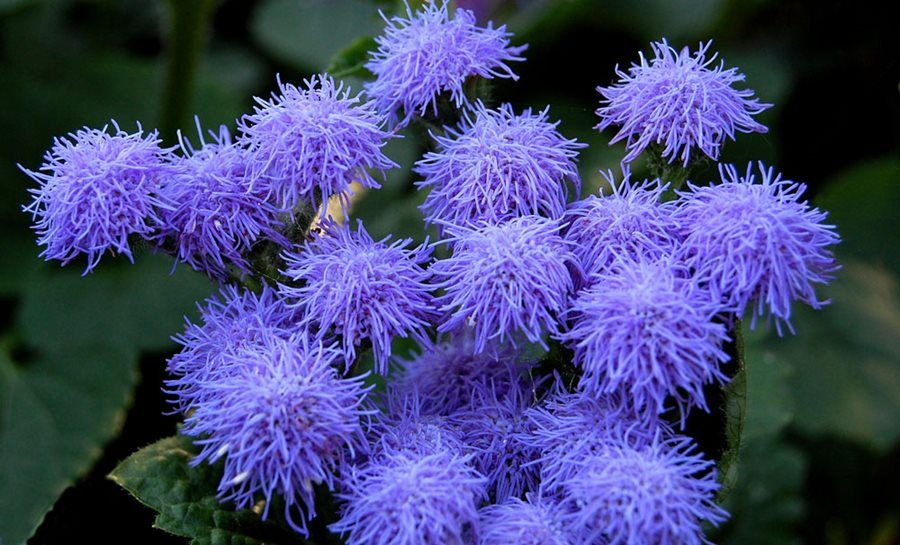 Ageratum How To Grow And Care For Floss Flower Natural Mosquito Repellent Plants Flower Garden Design Mosquito Repelling Plants