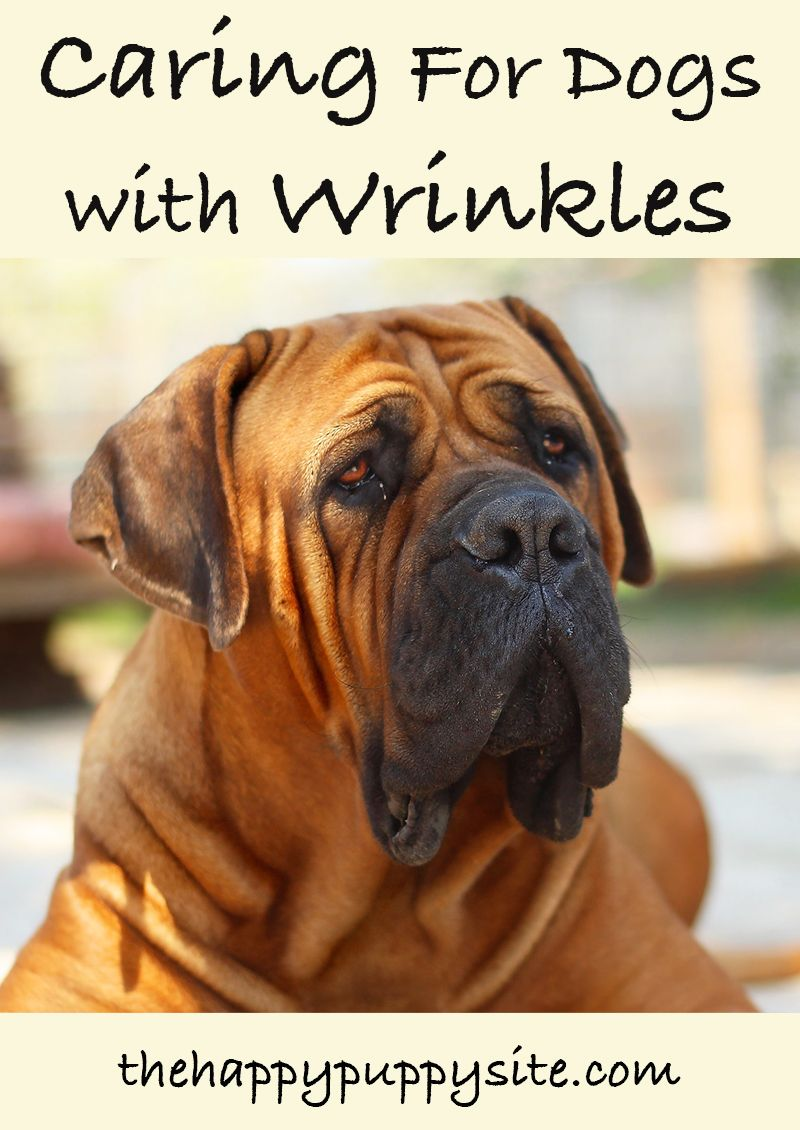 Dogs With Wrinkles A Guide To Caring For Wrinkly Dogs Dog