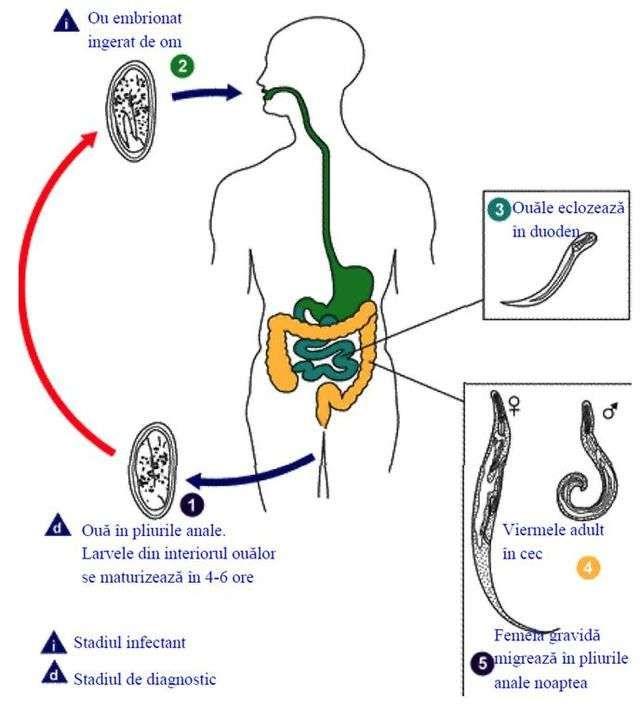 Ascaris Lumbricoides Ciclu Biologic