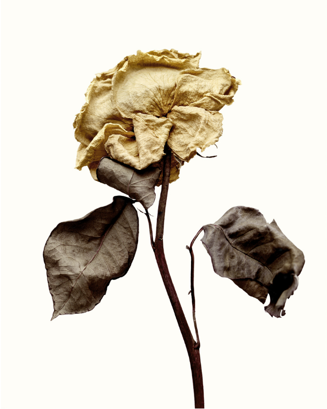 Angelina Mccormick S O S H A L L W O R K Wilted Flowers Nature Photography Flowers Dying Flowers