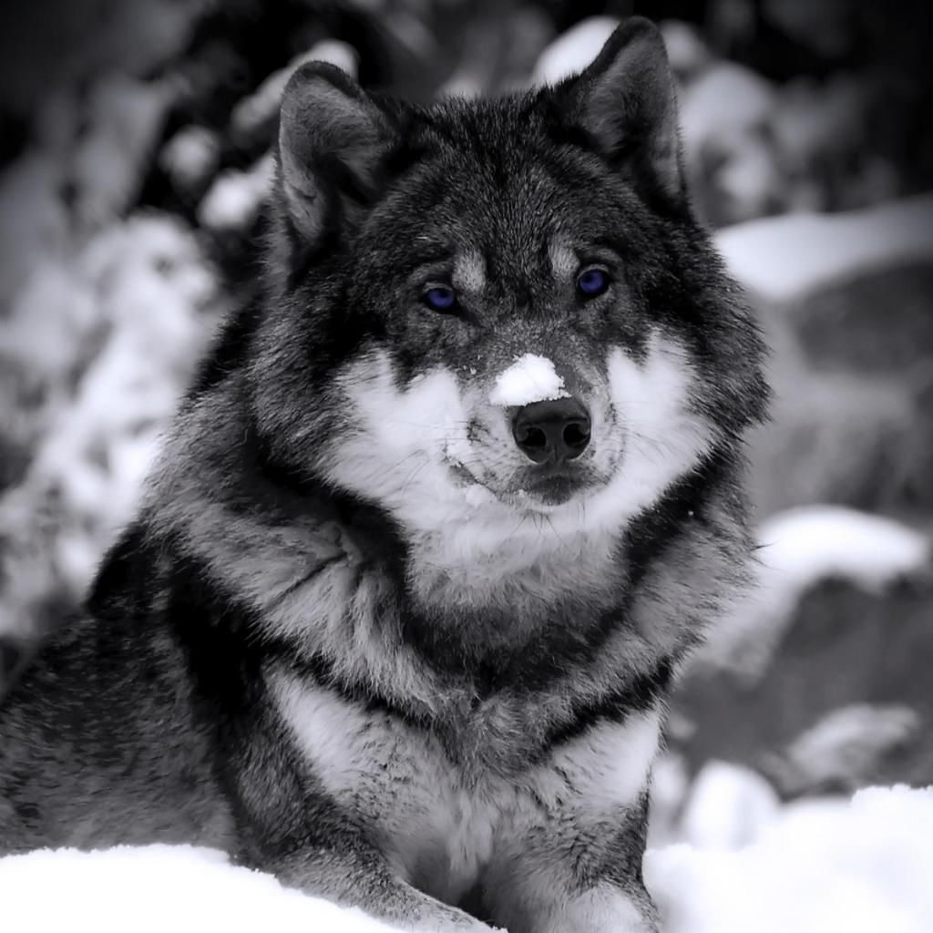 wolves in the wild pictures | ... for picture of a wilds ...