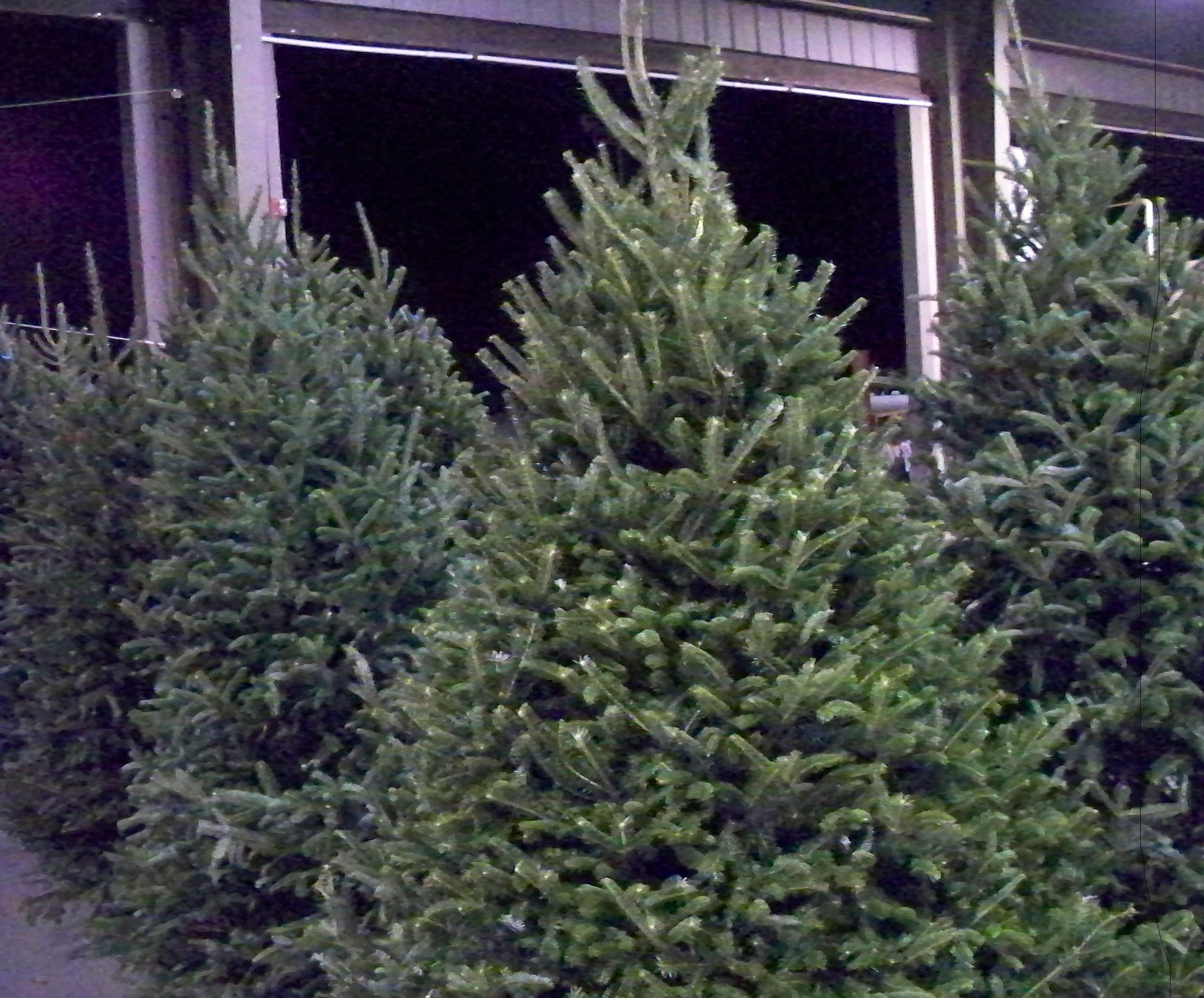 How To Keep Your Live Christmas Tree, Wreaths And Garland ...