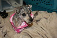 Miracle Millie 9 Yo Spayed Is An Adoptable Terrier Dog In