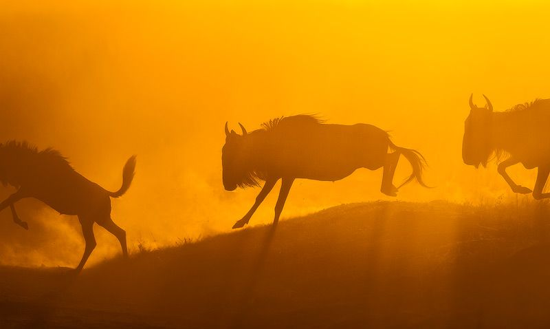 Wilderbeast, Mara Triangle, Masai Mara, Kenya. Photo by Mark Dumbleton Photography.