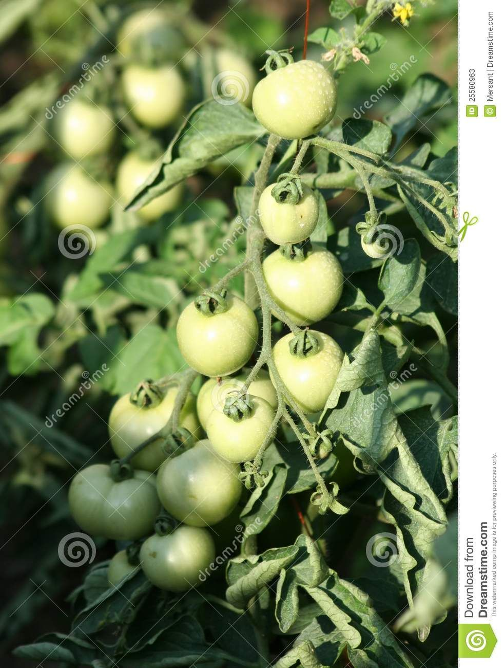 Some green tomatoes in a garden