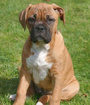 Boxer Price Temperament Life Span Boxer Breed Boxer Puppies