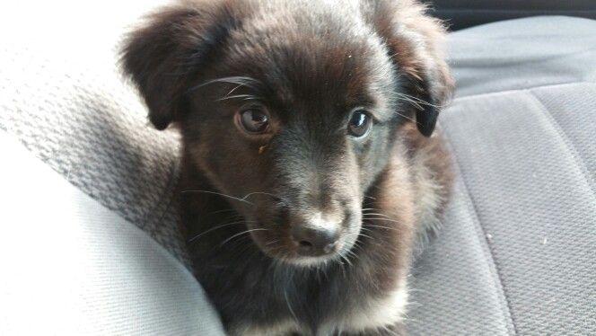 Mini Australian Shepherd Puppies For Sale Long Island Ny Www Islandpuppies Com 631 624 5580 Australian Shepherd Puppies Puppies Puppies For Sale
