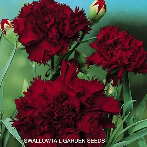 The Color For Muladhara Chakra Is Red So All Students Received A Deep Red Carnation To Symbolize Our De Purple Carnations Flowers Perennials Carnation Flower