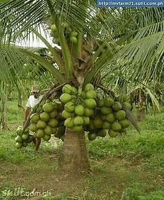 Hybrid T X D Variety Coconut Plant Cocos Nucifera 1 Healthy Live