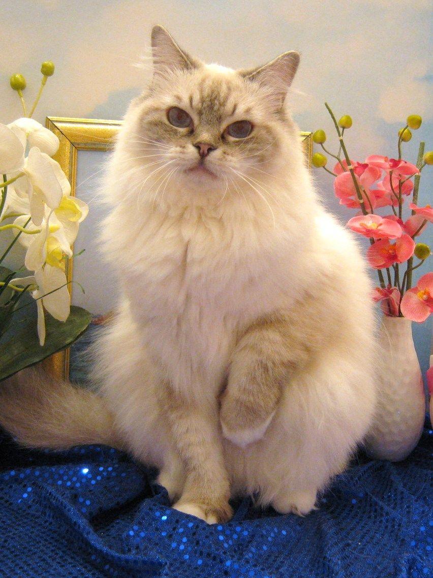 Furreal Ragdolls Ragdoll Cat Cats Cats For Sale