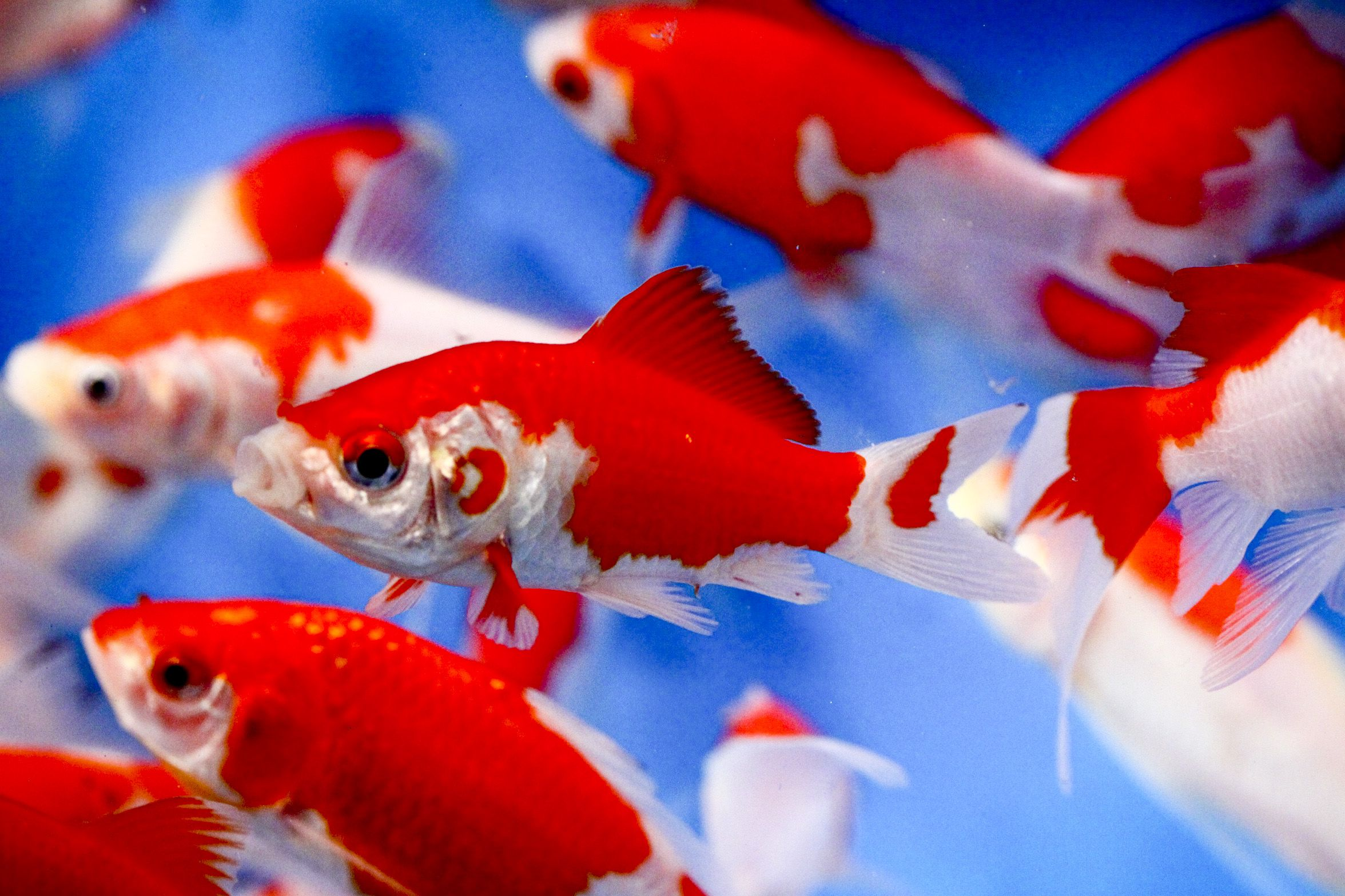 sarasa goldfish | SARASA COMET | Gathering of Goldfish | Pinterest ...