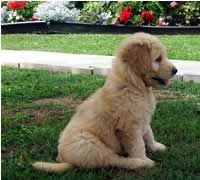 Soon Enough Goldendoodle Cute Animals Puppies