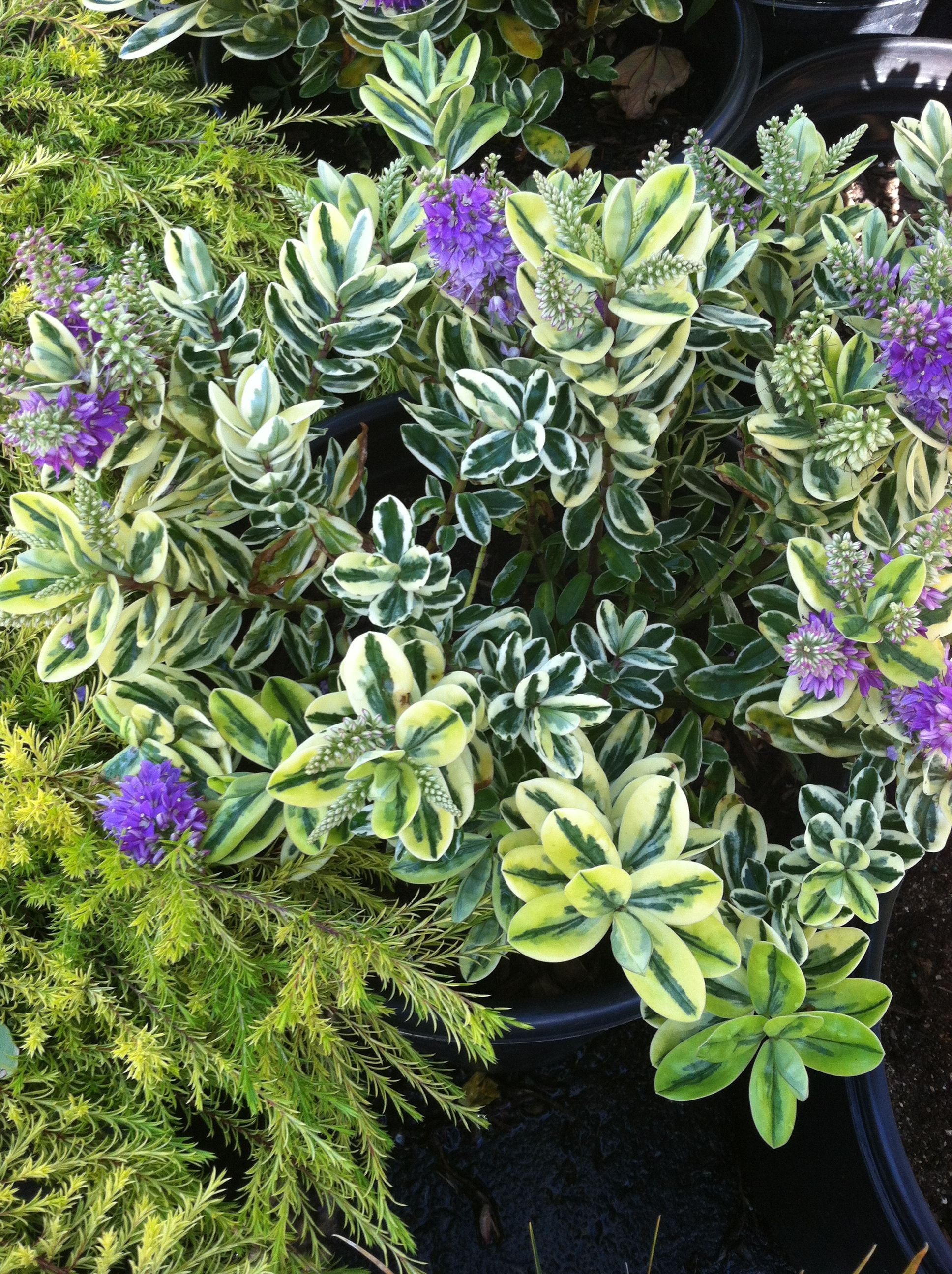 Hebe Variegated Shrub With Blue Flowers To Replace Boxwoods In Front