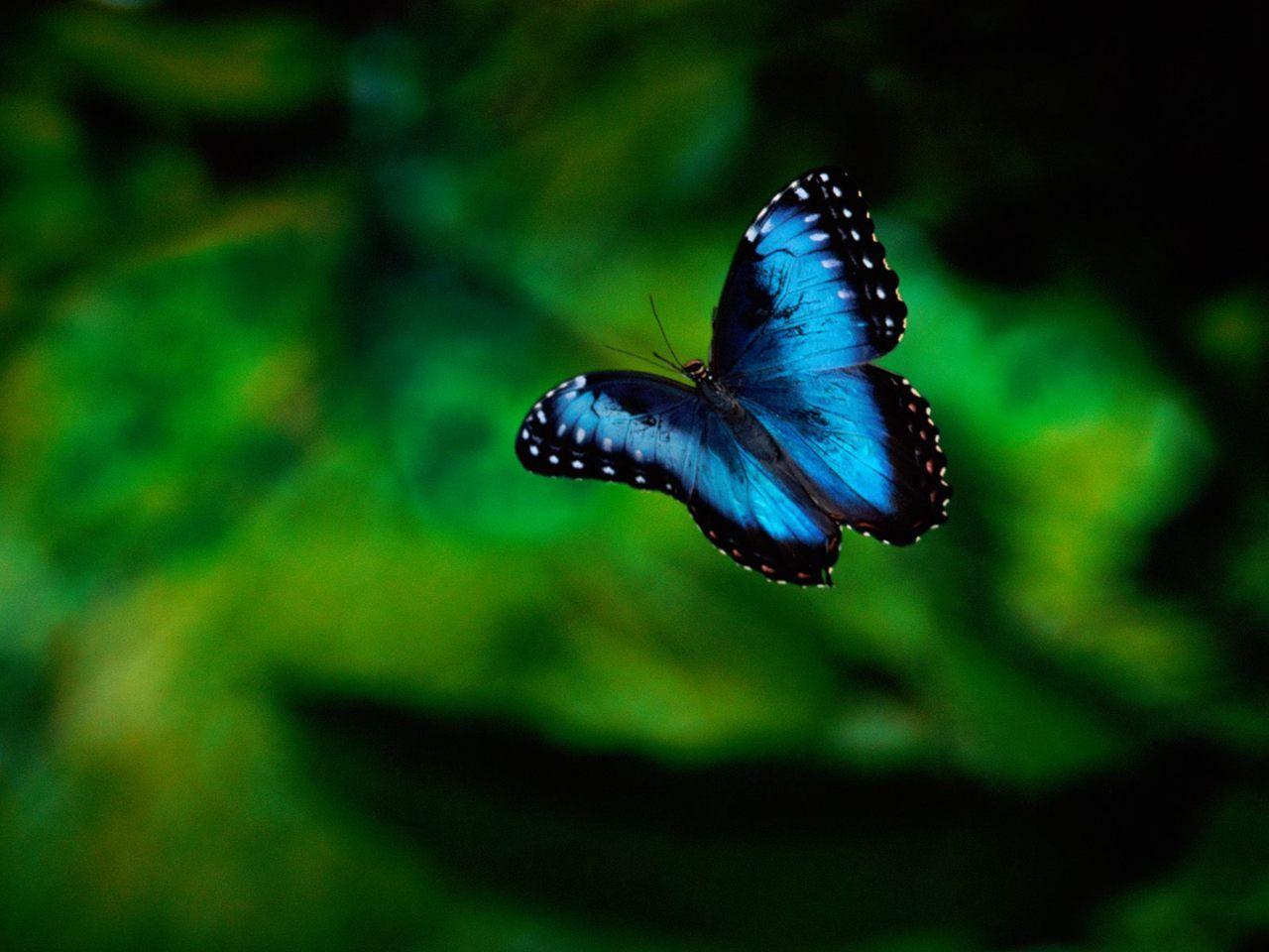 Morpho Butterfly in Flight, Costa Rica