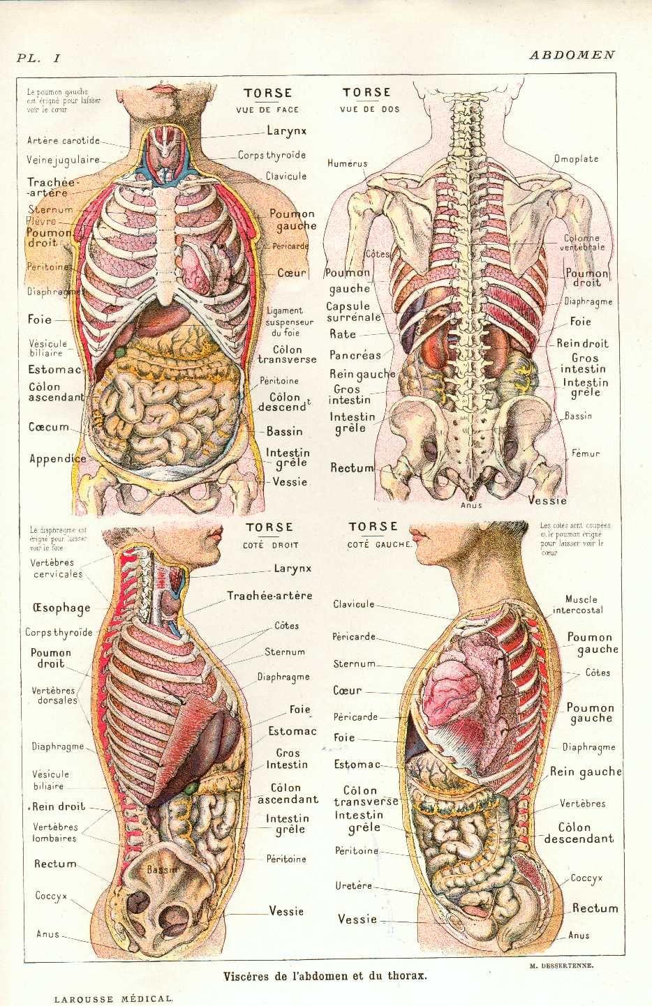 Anatomie du thorax et de l\'abdomen | Anatomy | Pinterest | Anatomía ...