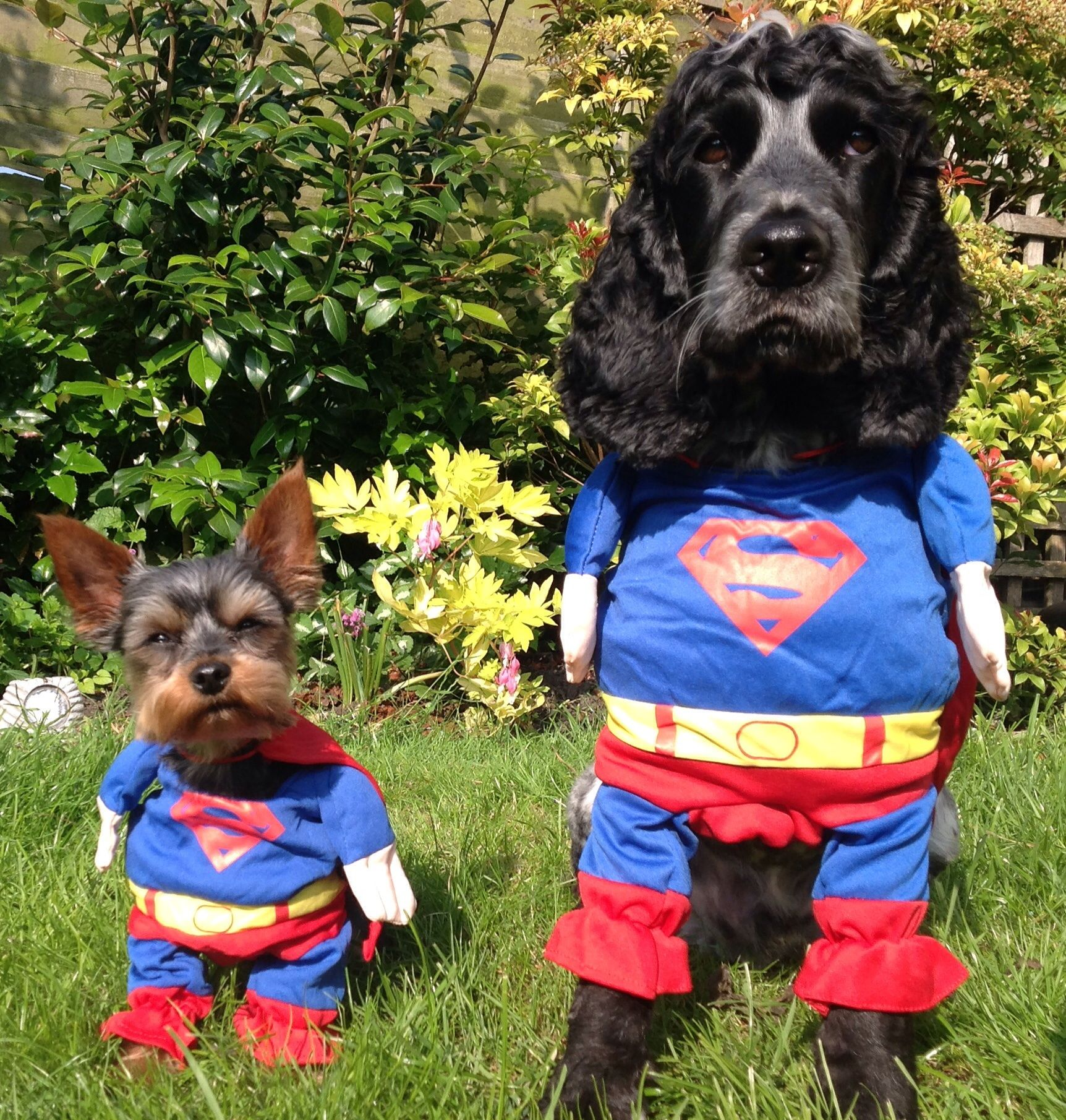 My 2 pooches posing in their Superman dog costumes I wouldnu0027t mess with & My 2 pooches posing in their Superman dog costumes I wouldnu0027t mess ...