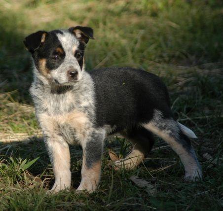 Australian Koolie Dog Photo Koolie X Acd Pups Koolie For Sale