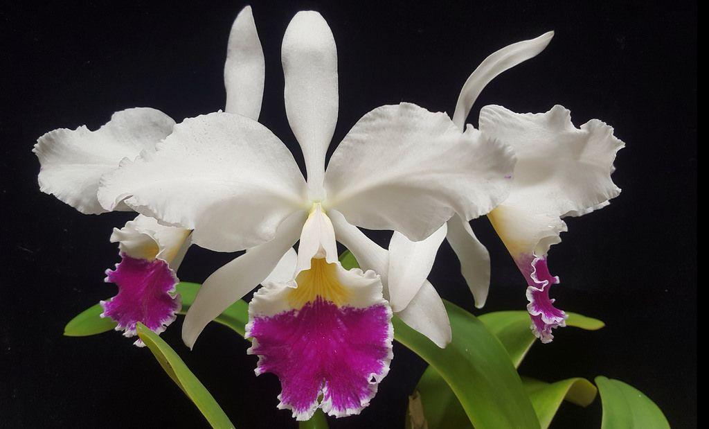 Cattleya Labiata Semi Alba Cattleya Cattleya Orchid Orchidaceae