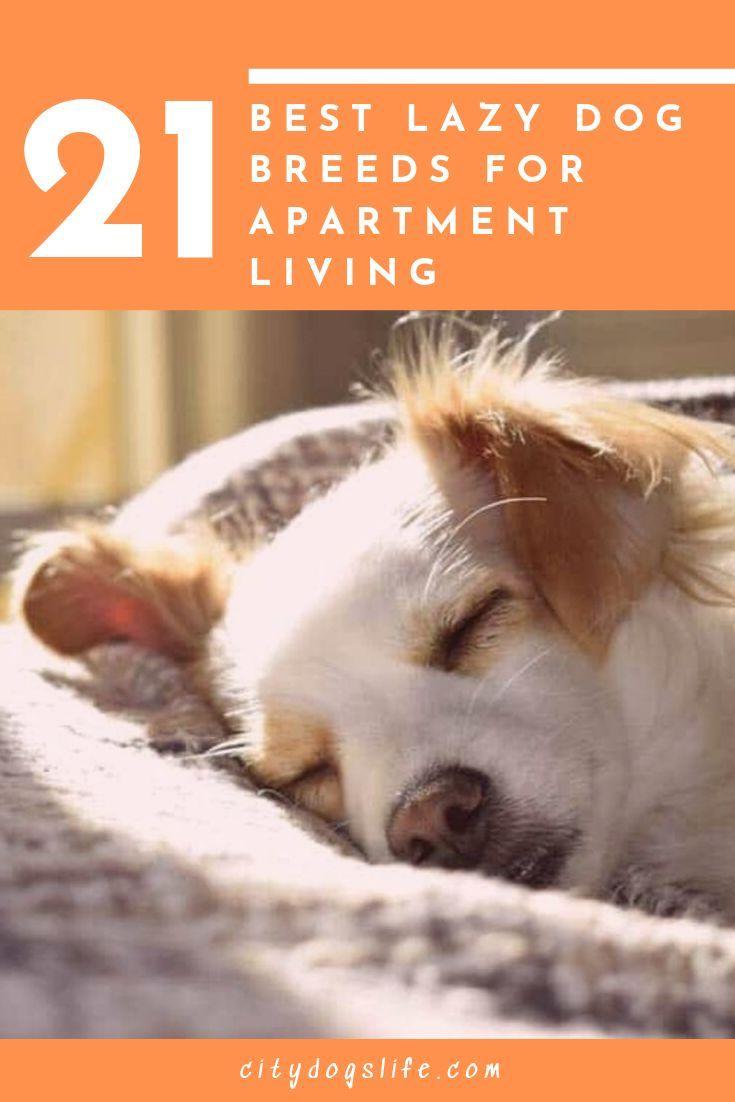 Dog Breeds For Apartments In 2020 Lazy Dog Breeds Dog Breeds Medium Dog Breeds That Dont Shed