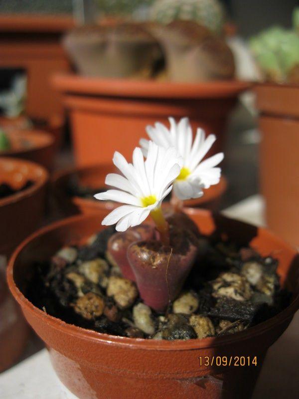 conophytum pellucidum