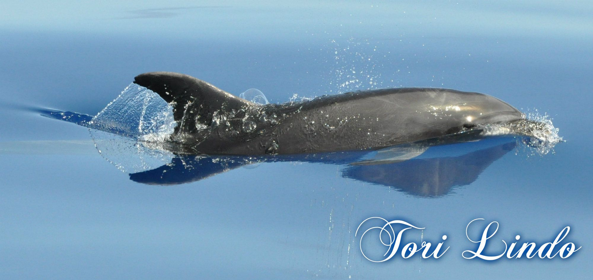 Bermuda wild Dolphins