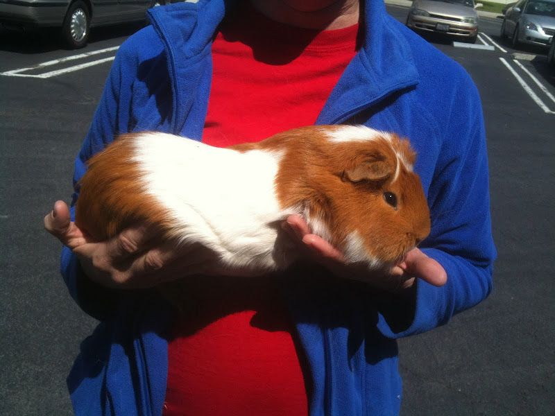 how to give a guinea pig an orange