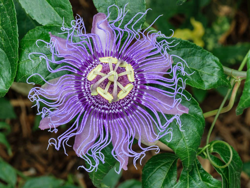Top 5 Choices For Vines And Climbing Plants World Of Flowering Plants Passion Flower Plant Passion Flower Pollinator Garden