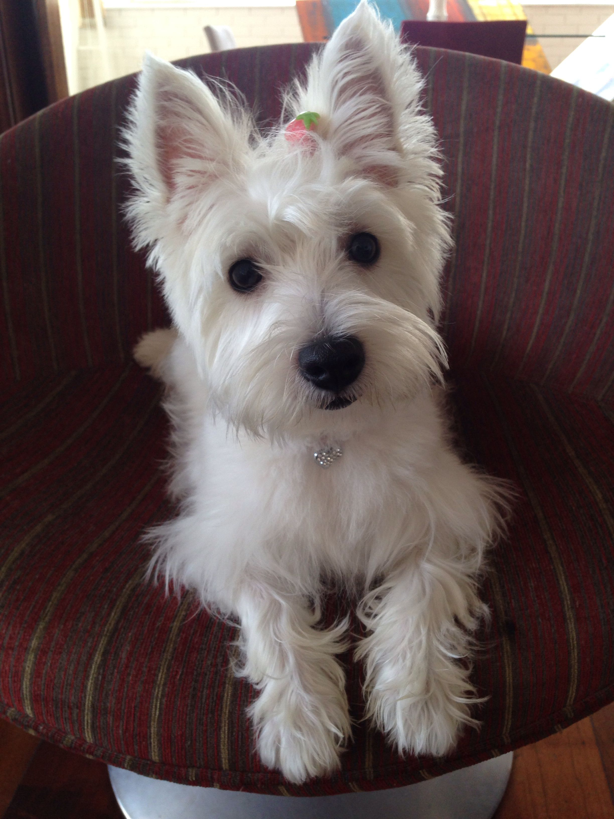 Westie That Look Again With Images Westie