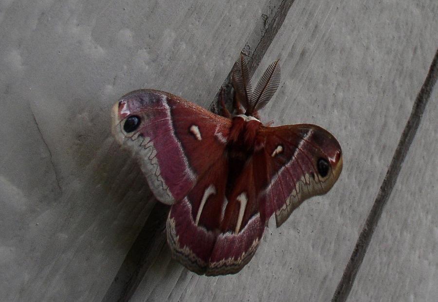 Rare Moth by William McCoy - Rare Moth Photograph - Rare Moth Fine ...