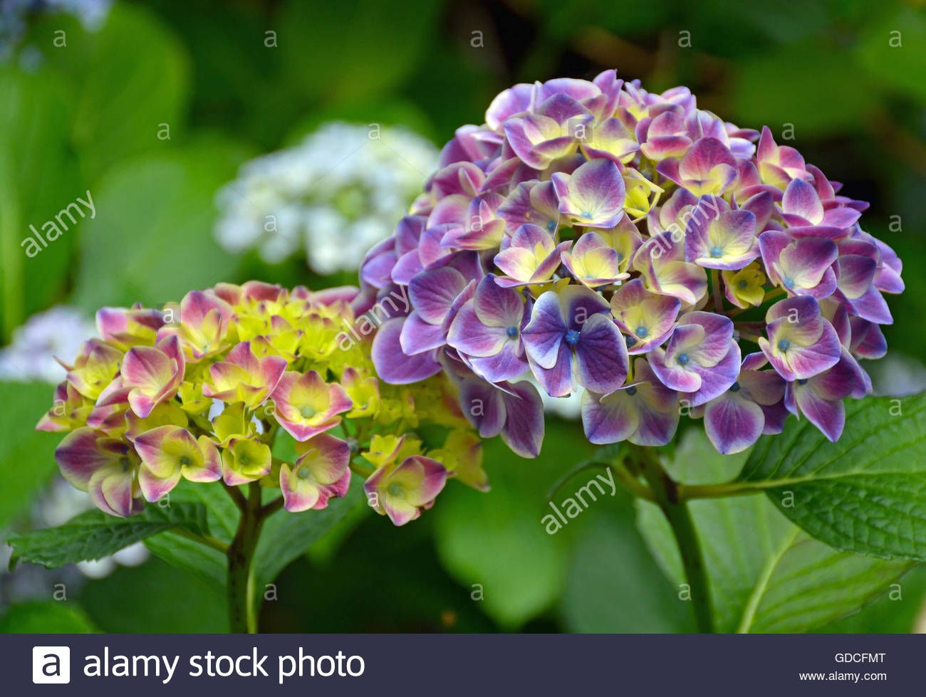 Download This Stock Image Beautiful Pink Yellow And Purple