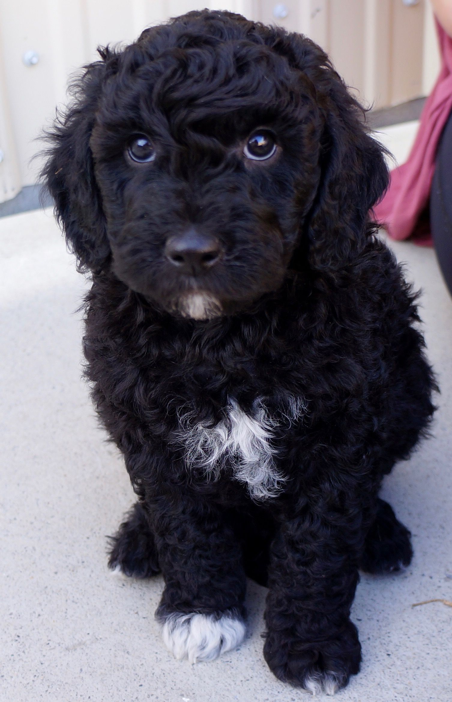 Cutest Mini English Goldendoodle Puppy! Goldendoodle